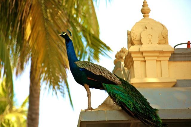 RamanaAshramPeacock